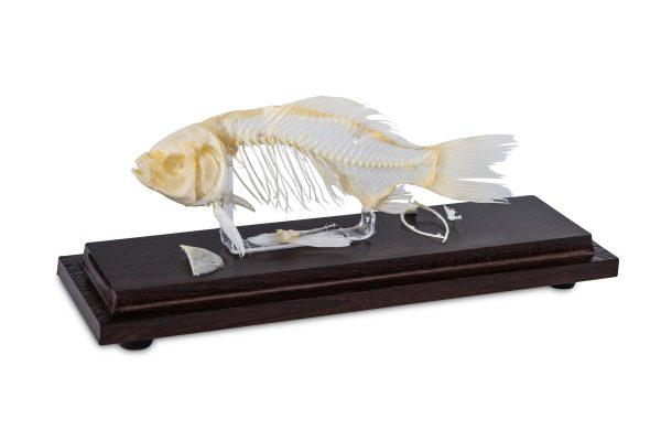 Animal skeleton specimen